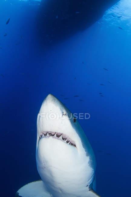 Weißer Hai zeigt Zähne — Stockfoto