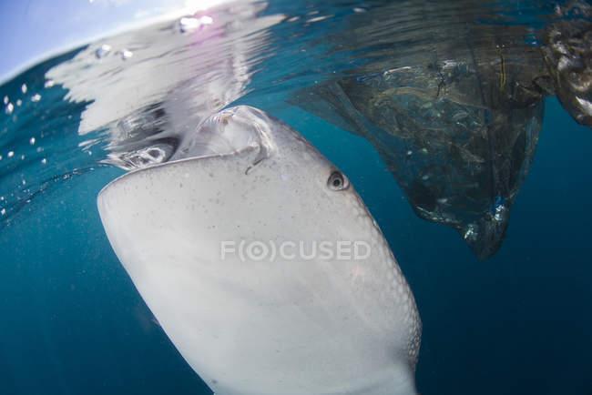 Walhai schlucken Wasser in der Nähe von Netzen — Stockfoto