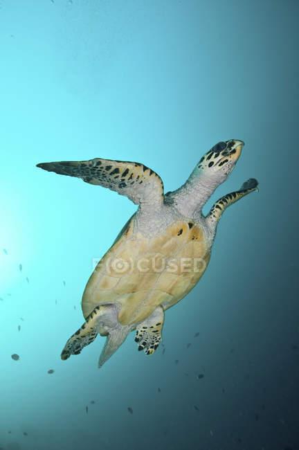 Tortue verte nageant en eau bleue — Photo de stock