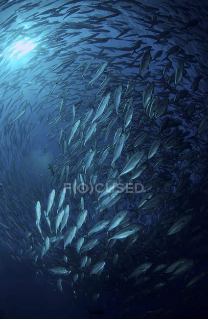 Im blauen Wasser kreist die Schule der Buben — Stockfoto
