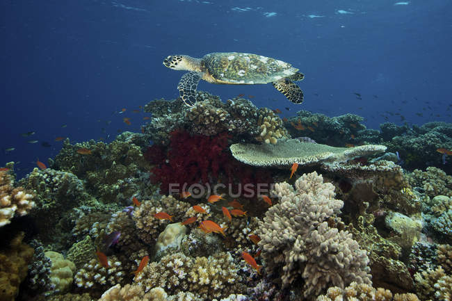 Hawksbill turtle gliding over pristine reefs — Stock Photo