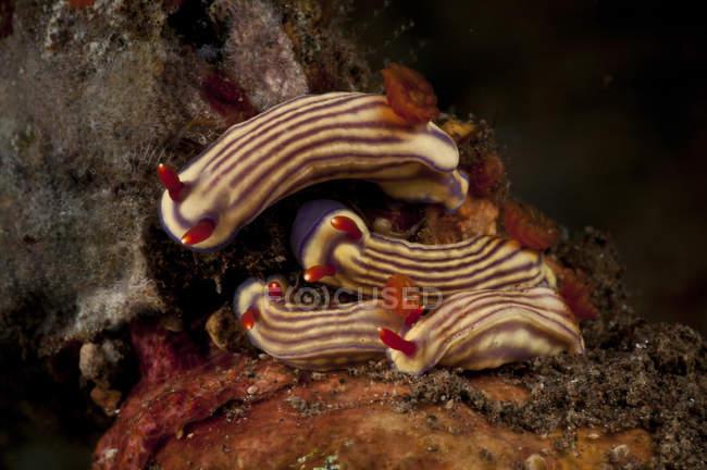 Hypselodoris Maridadilus Nacktschnecken — Stockfoto