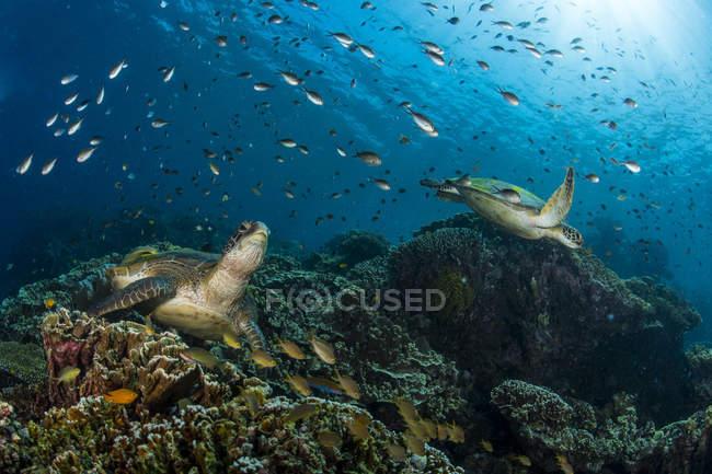 Schwarm von Chromosomen schwimmt über Schildkröten — Stockfoto