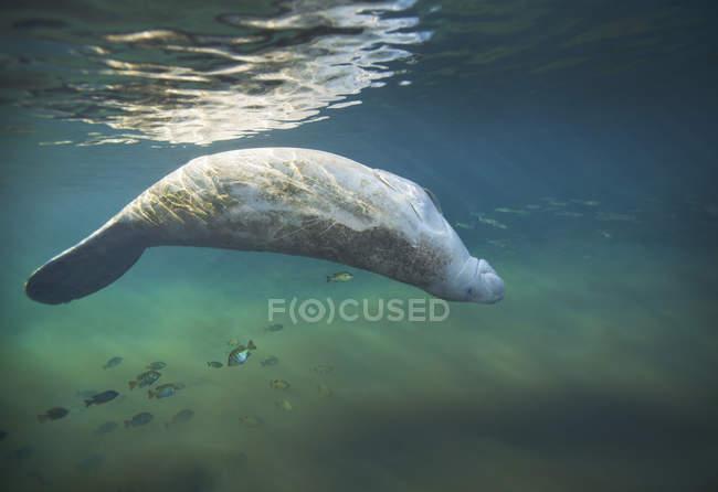 Lamantino nuoto a testa in giù — Foto stock