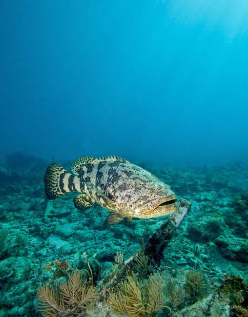 Goliath Grouper über Schiffswrack schweben — Stockfoto