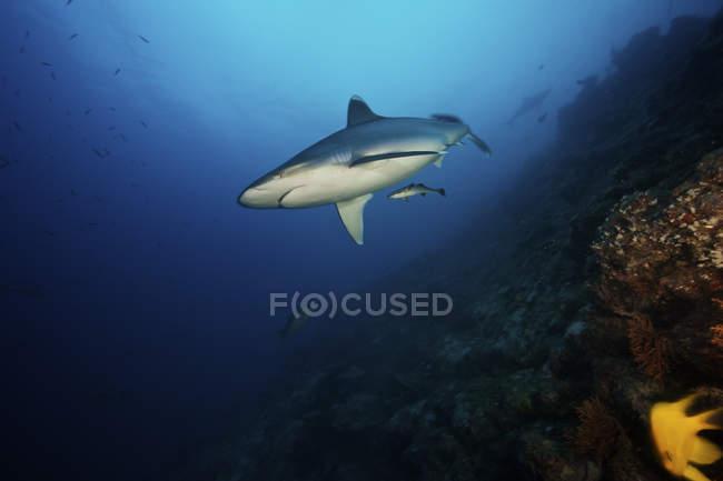 Großen Silvertip Shark am deep reef — Stockfoto