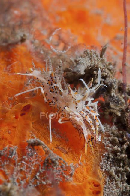 Crevettes tigrées sur éponge orange — Photo de stock