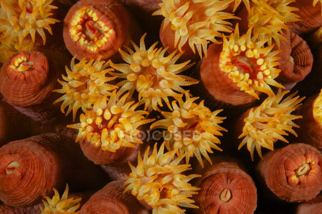 Polypes corail tube jaune — Photo de stock
