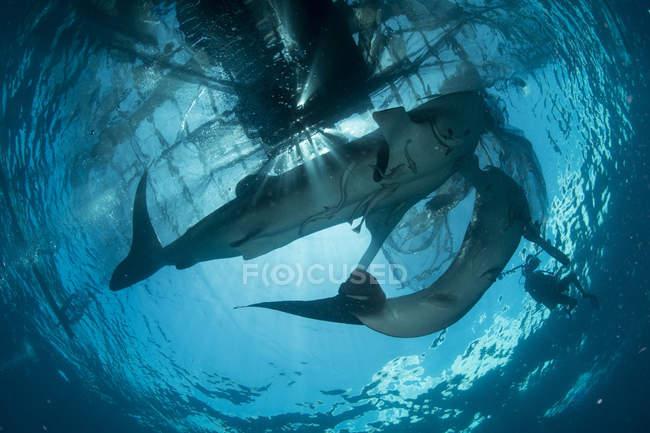 Walhaie schwimmen zur Oberfläche — Stockfoto