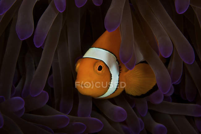 Falso pez payaso de Ocellaris - foto de stock