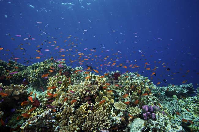 Flock of orange basslets on reef — Stock Photo