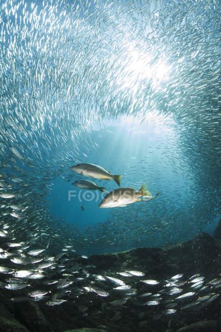 Trio di dentici a caccia di pesci esca — Foto stock