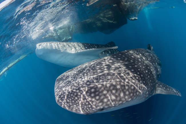 Walhaie in der Nähe von Oberfläche schwimmen — Stockfoto