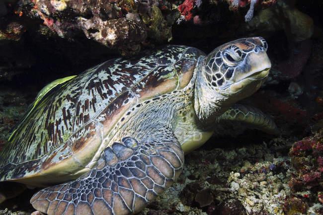 Grüne Meeresschildkröte ruht auf Felsvorsprung — Stockfoto