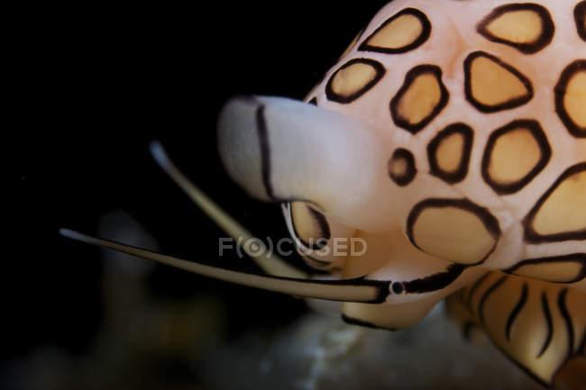 Lumaca lingua fenicottero — Foto stock