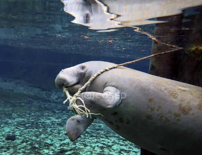 Ламантин жування док мотузку — стокове фото