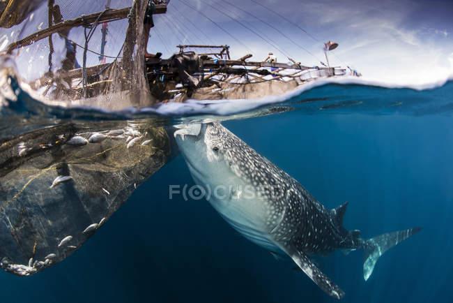 Китова акула зливання палива води з поверхні — стокове фото