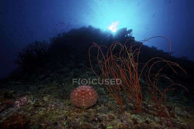 Großes Nadelkissen Seestern — Stockfoto