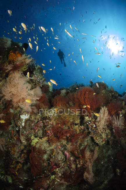 Diver swimming over coral reef — Stock Photo