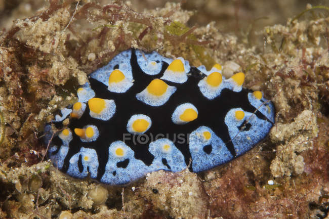 Nudibranche se nourrissant d'algues — Photo de stock