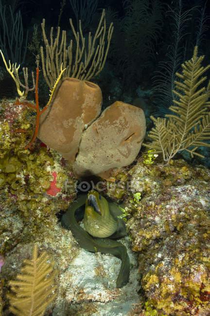 Moray anguila en arrecife de coral - foto de stock