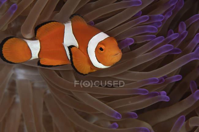 Pesce pagliaccio in punta viola anemone — Foto stock
