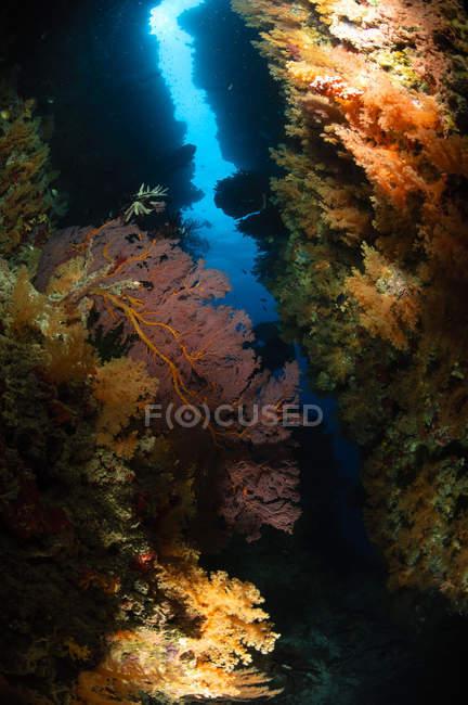 Eventails de mer sur récif — Photo de stock