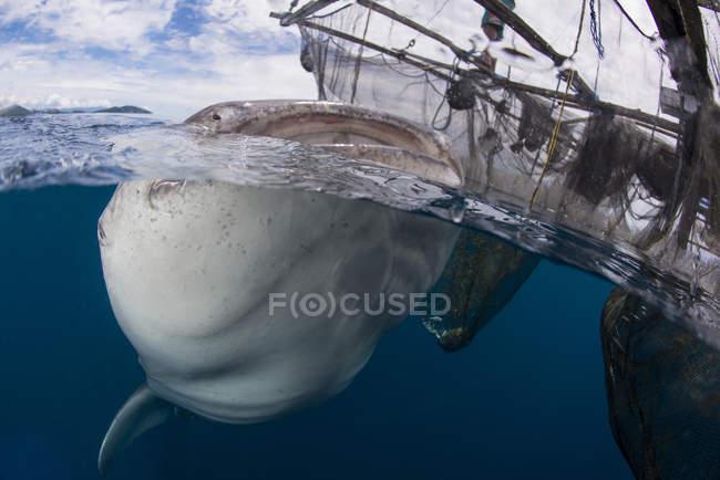 Китова акула ковтаючи води — стокове фото