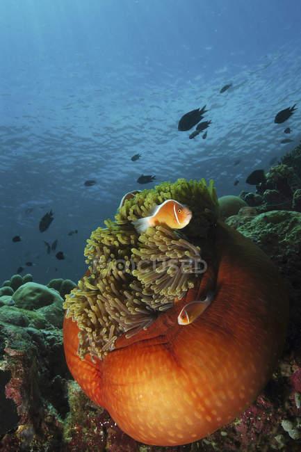 Clownfish et anémone orange — Photo de stock