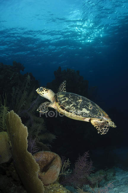 Tortue de mer nager sur corail — Photo de stock