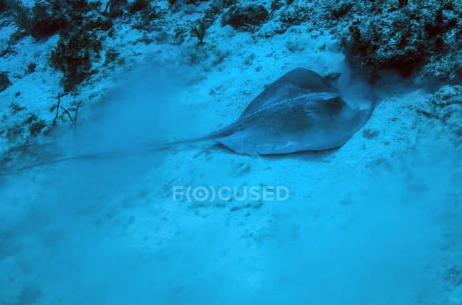 Stachelrochen auf sandigem Meeresboden — Stockfoto