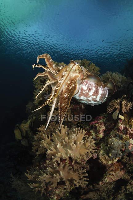 Sepia sobre arrecife de coral - foto de stock