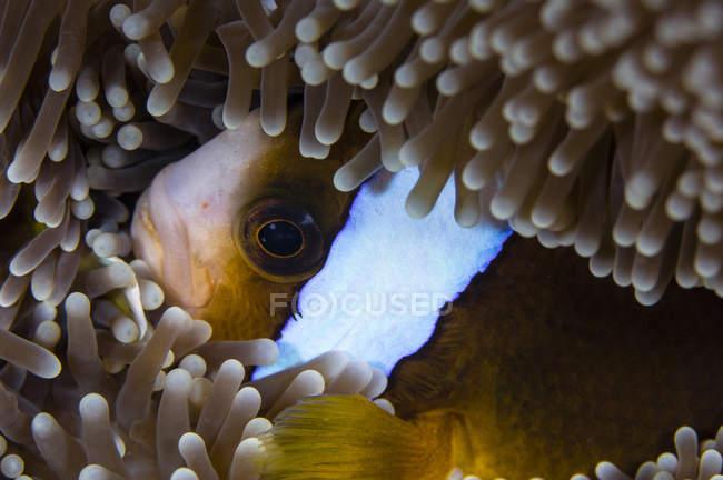 Clownfish se cachant dans l'anémone — Photo de stock