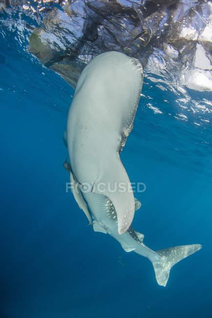 Walhai schwimmen unter Fischernetzen — Stockfoto
