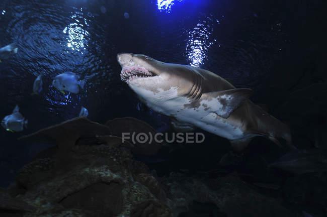 Песчаная тигровая акула — стоковое фото