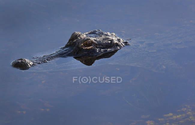 Alligator spähen Kopf aus seichtem Wasser — Stockfoto