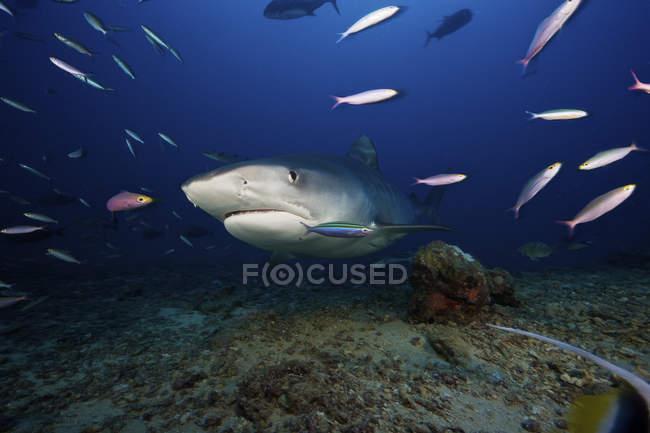 Тигрова акула плавання з наживки — стокове фото