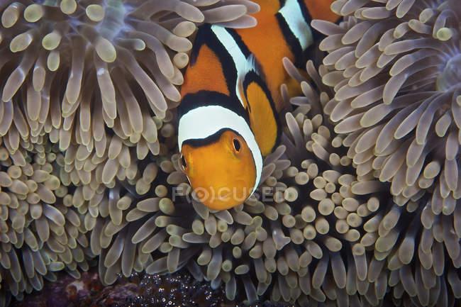 Pesce pagliaccio che si occupa delle uova — Foto stock