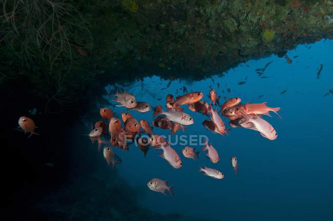 Schule der roten Großaugenthun unter Kante — Stockfoto