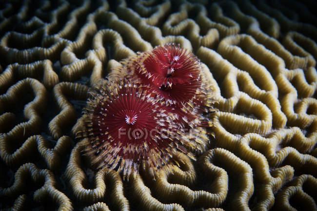Verme albero di Natale in corallo duro — Foto stock