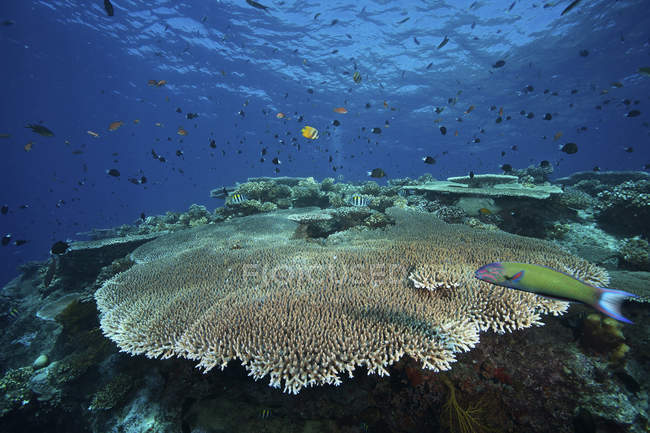 Großer Teller Koralle Aropora pulchra — Stockfoto