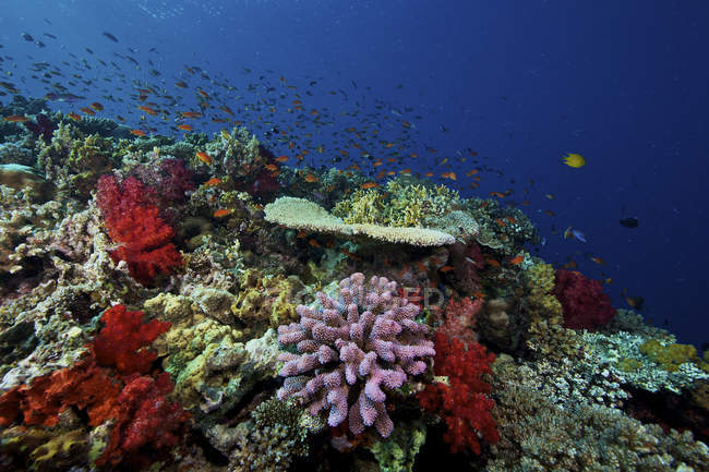 Bandada de basslets naranjas en el arrecife - foto de stock