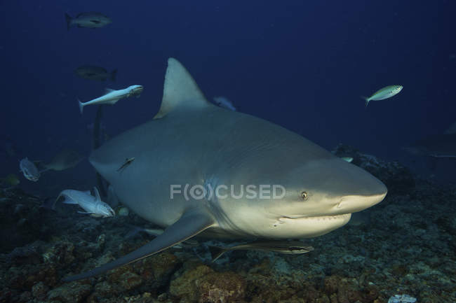 Bullenhai mit Remoras begleitenden — Stockfoto