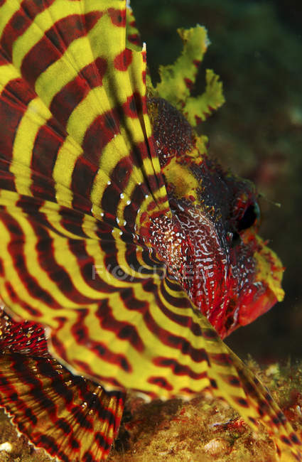 Yellow and red pectoral fin of dwarf lionfish — Stock Photo