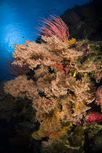 Eventails et fouets sur récif — Photo de stock