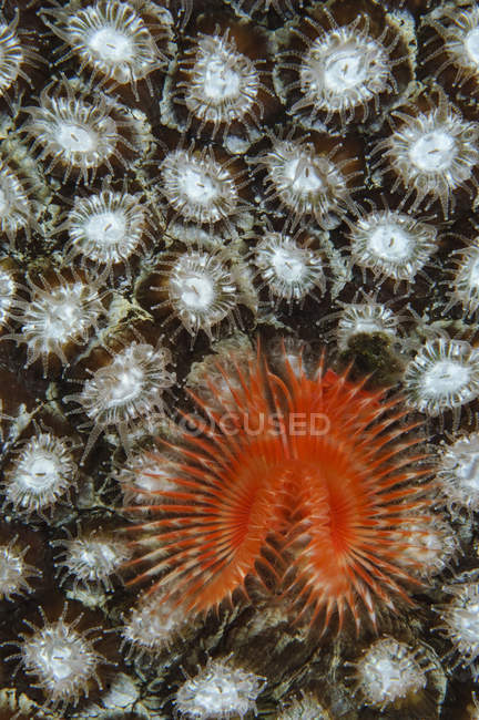 Christmas tree worm on coral — Stock Photo