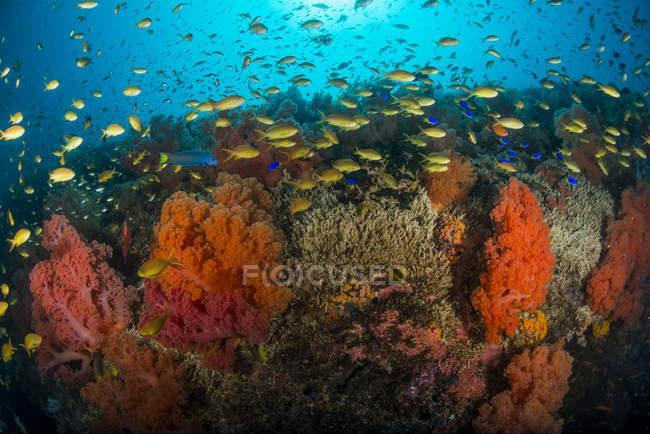 Escuela de anthias nadando sobre dendronephthya - foto de stock