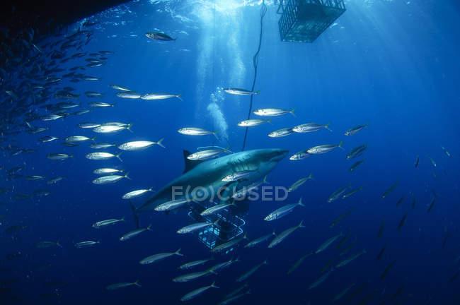 Водолазы просмотра большой белой акулы — стоковое фото
