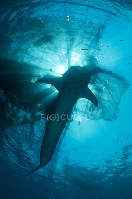 Whale Shark schwimmen zur Oberfläche — Stockfoto
