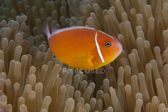 Clownfish swimming near host anemone — стоковое фото
